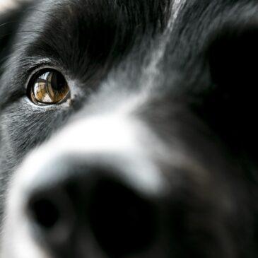 Naucz psa patrzenia w oczy