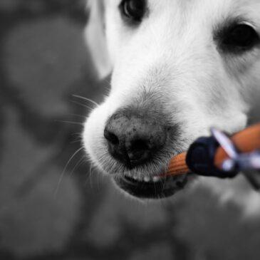 Pies gryzie smycz – co robić?